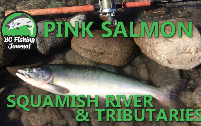 Pink Salmon Squamish River and Tributaries